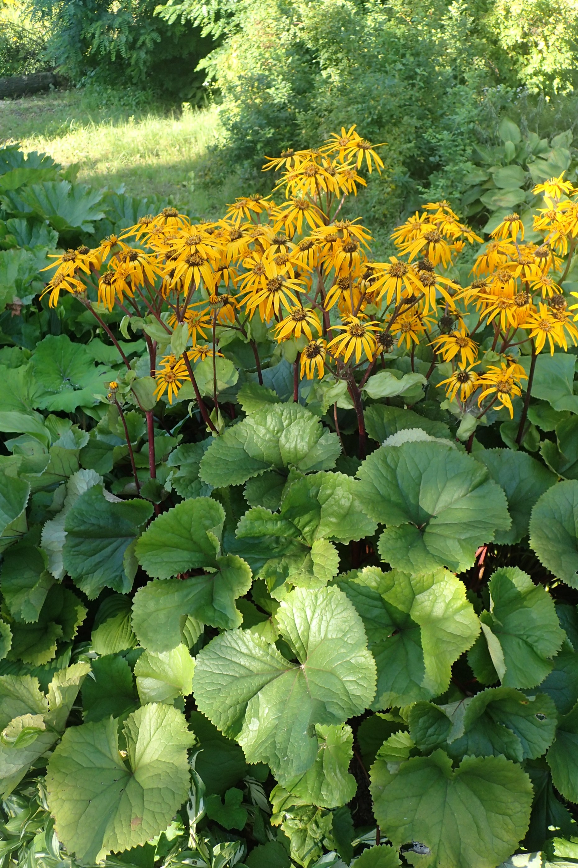 Large and dense foliage of Ligularia with tall flower spike blooms above