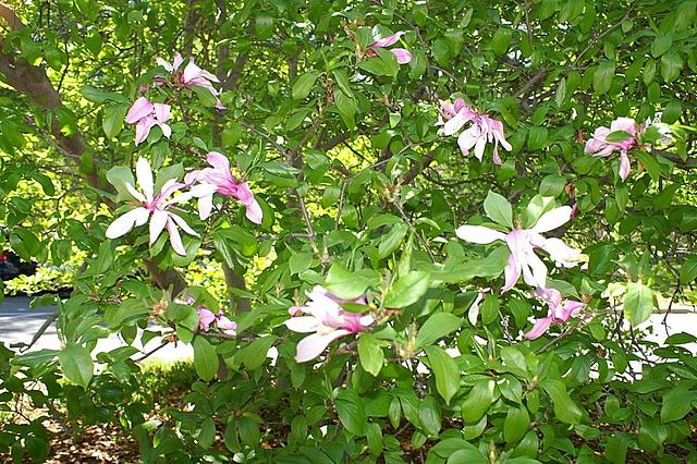 Betty Magnolia flowers in bloom against its green foliage