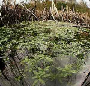 Adaptations of totally submerged, floating and swamp plants