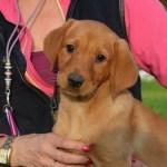 True Fox Red Labrador Puppies Countryways Gundogs International Gundog Trainer Breeder