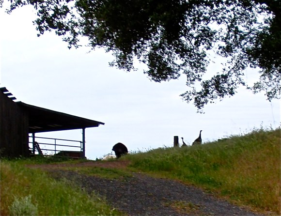 Turkeys on the hill by the barn, checking things out~