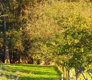 countrywomanpaints.com-walnut orchard in green pastures
