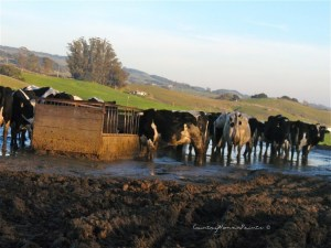 Neighbor Cows Mudhole