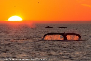 whale tail in monterey bay