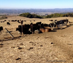drought+cows