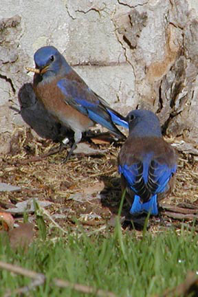 Blue Birds Everywhere! No Housecleaning, Such Slobs, These Birds~