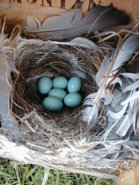 bluebird-nest-eggs