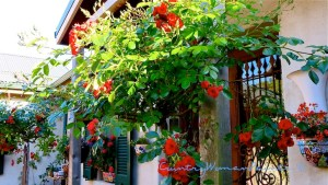 courtyard tree roses