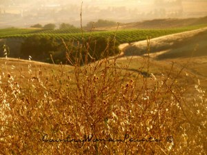 summer weeds to the vineyards-©CountryWomanPaints