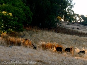 drought cows