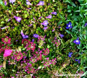groundcovers of flowers