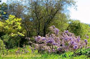 wisteria, trees, grasses