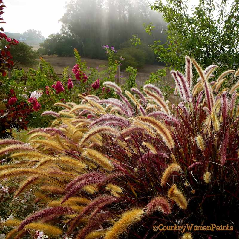 fountains of purple grass