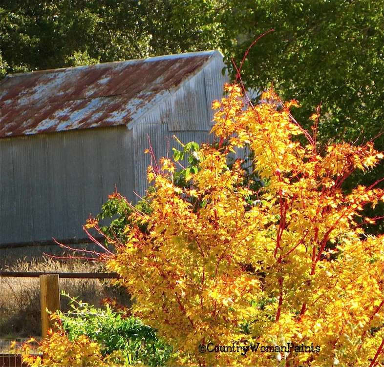 Japanese Maple + Tin Barn