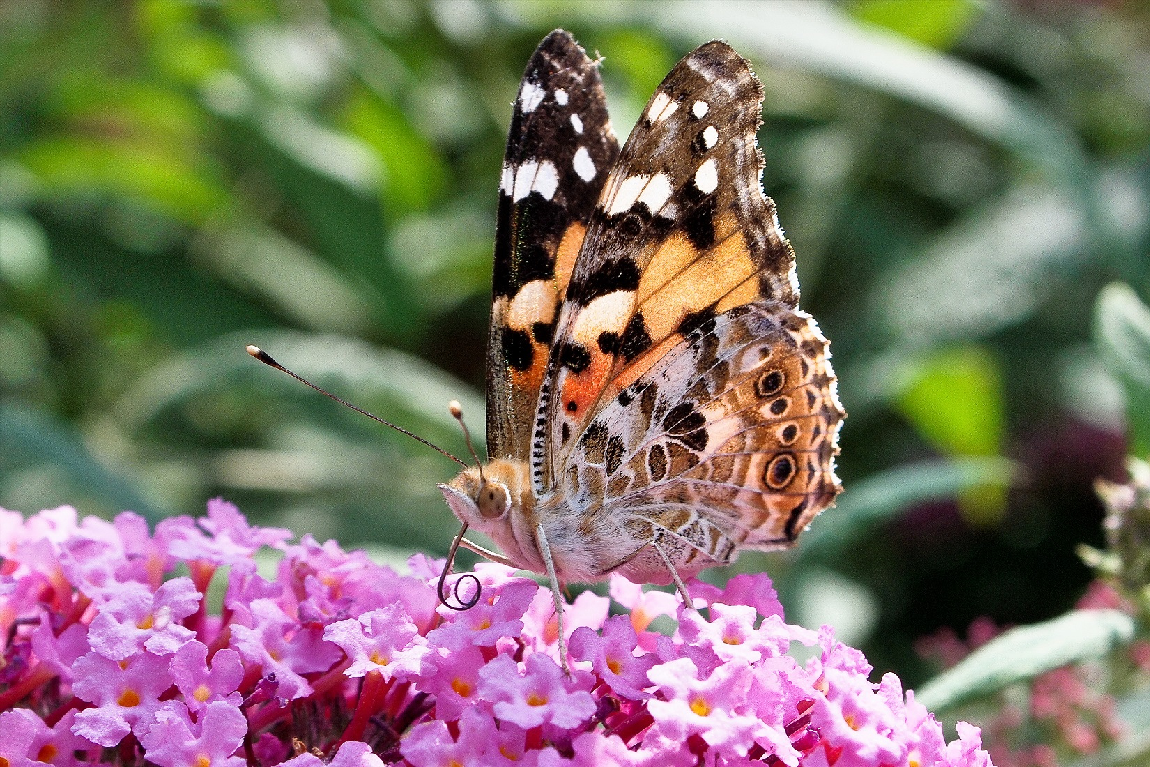 County Blooming With Painted Lady Butterflies