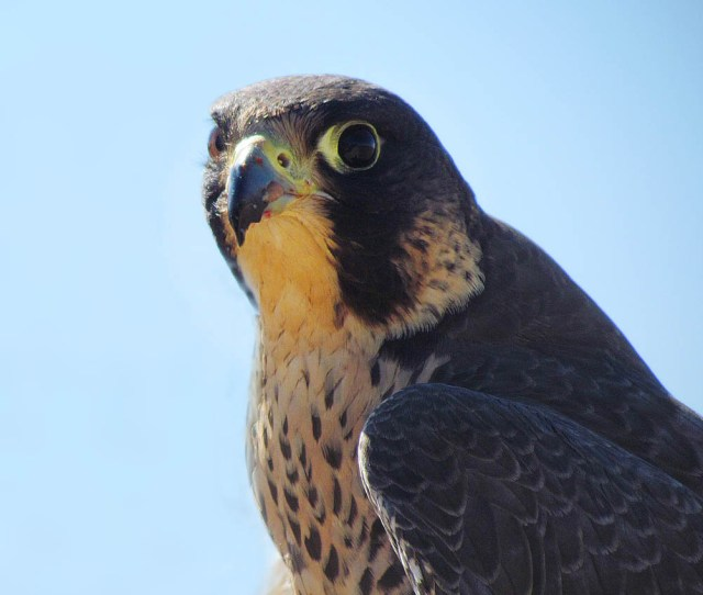 The Peregrine Falcon Has Been Used In Falconry For More Than  Years Beginning With Nomads In Central Asia Due To Its Ability To Dive At High Speeds
