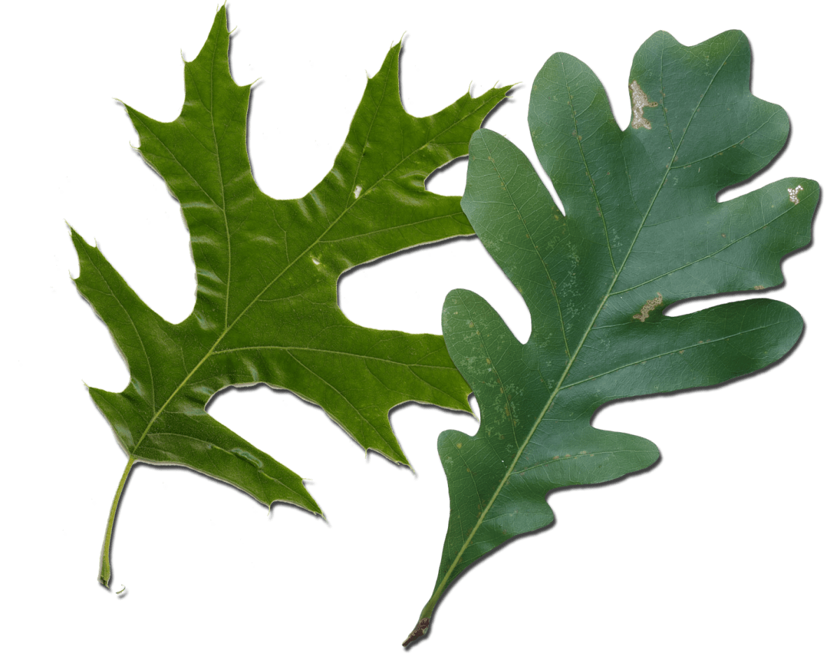 Red Oak vs White Oak Leaves How to Tell Them Apart