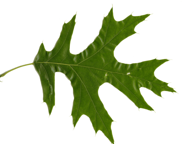 White Oak Leaf Identification ~ Red oak vs white leaves how to tell them apart
