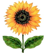 Sunflower image from http://www.picgifs.com (Heliotropism Following the Son)