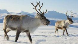 Reindeer | (Photo: Dmitry Chulov/Shutterstock)