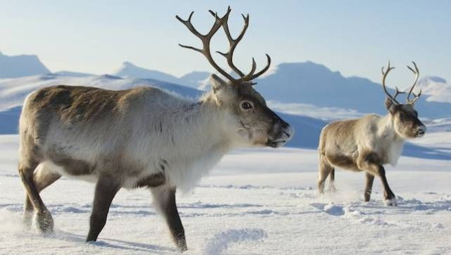 """Santa's Reindeer are female - Did you know that Santa's reindeer are female? Here is a fact about antlers and who has them or not in this caribou family. Also included are some facts about this animal that adapts to snow well. Besides, Only women would be able to drag a fat man in a red velvet suit all around the world in one night and not get lost!"""" 