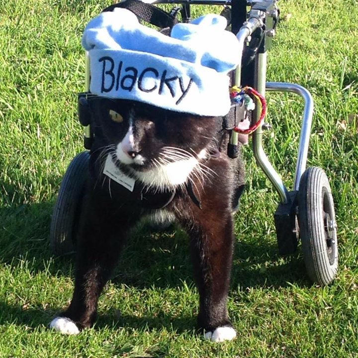 A tribute to Blacky the Wheelchair Cat. Blacky is a Timaru cat. He lost his back legs by a car accident. Not only did he lose his back legs, but spinal nerve damage. Not only that but Blacky also has only one eye. #Blacky #WheelChairCat