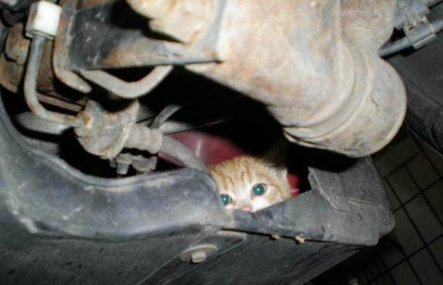 cat-under-car-hood-1288932
