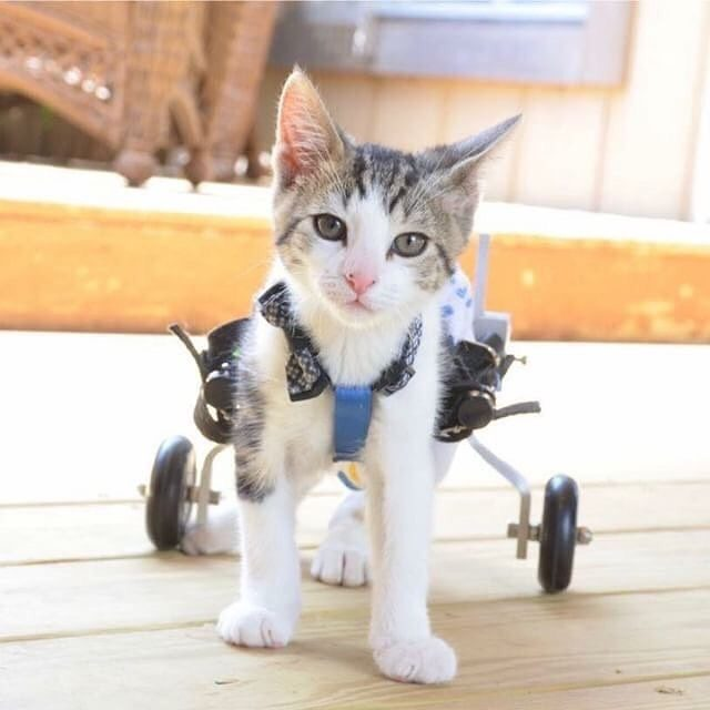 Just like Meet Rocky on Wheels - a cat who gets around on a wheelchair. It doesn't stop him from getting around. #RockyonWheels