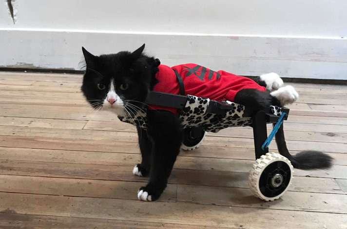 earl-the-paralyzed-cat-in-3d-printed-wheelchair-8529250