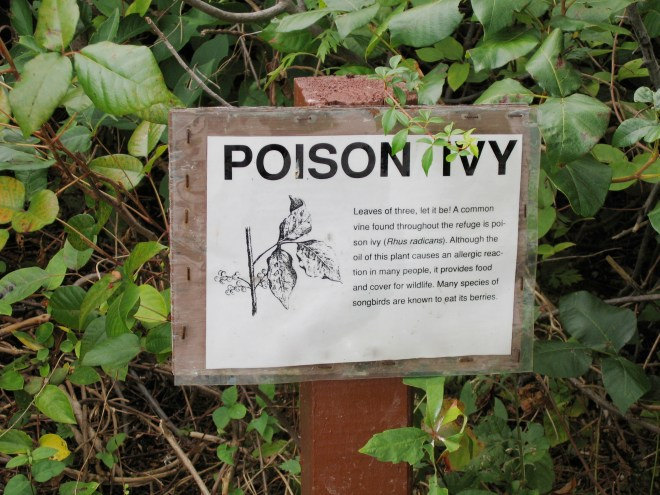 Poison ivy is an unwelcome guest on many properties. Unfortunately, many people don't recognize the presence of poison ivy on their property until it's too late and they've already fallen victim to the uncomfortable, itchy red rash that is the plant's hallmark. #PoisonIvy (Leaves of three, let it be! A common vine found throughout the refuge is poison ivy (Rhus radicans). Although the oil of this plant causes an allergic reaction in many people, it provides food and cover for wildlife. Many species of songbirds are known to eat its berries.)