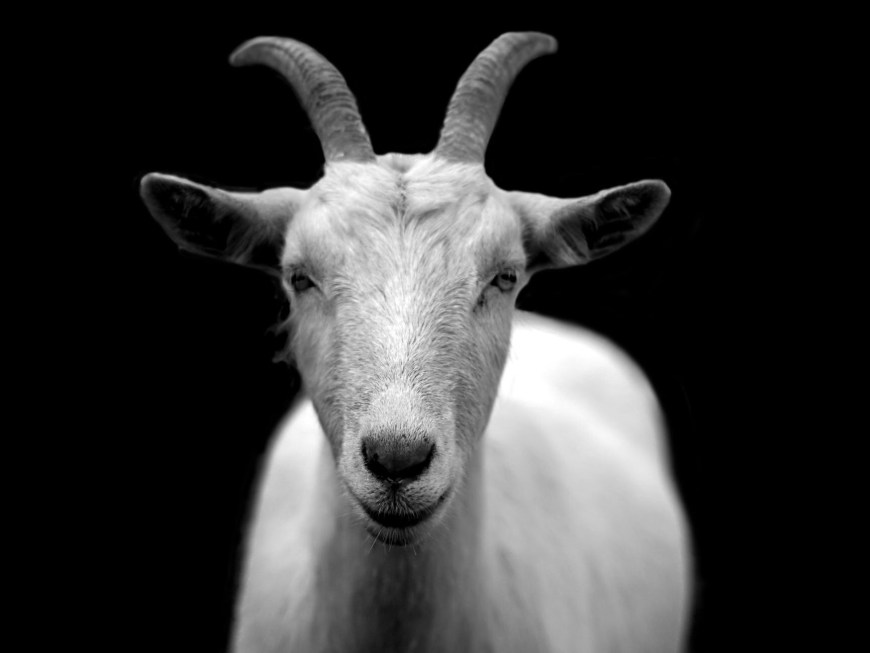 Escape Goat - In sacrificial times, they believed the people's sins were passed onto a goat and it was released. #EscapeGoat