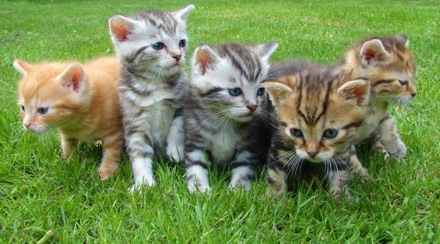 Cat facts to purr over - Cats make for fascinating pets and are loved by people for myriad reasons. Here is a list of facts about cats! #Cats #CatFacts (assorted color kittens)