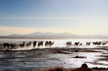 Lamas Sol de manana, Sud Lipez, Bolivie