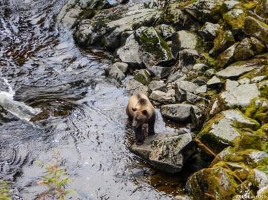 Observations, à quelques mètres, d'un grizzly qui chasse des saumons qui remontent les rapides d'une rivière