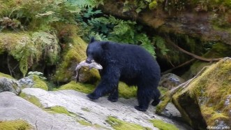 Ours noir qui remonte manger un gros saumon qu'il vient de pêcher habilement en se jetant dans les eaux vives de la rivière. Cette rivière est une des rares d'Amérique du nord où les ours noirs et les grizzlys cohabitent et pêchent dans la même rivière. Néanmoins, les ours noirs méfiants ne traînent pas près de le rivière lorsqu'un grizzly rôde