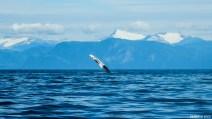 Le Seymour canal qui forme un large fjord qui se jette dans le Stephens passage est unz zone de pêche pour les baleines à bosses que l'on a eu à nouveau la chance d'observer toute la journée. Ici, la nageoire pectorale d'une baleine à bosse qu'elle frappe à plusieurs reprises à la surface de l'eau créant de puissantes ondes dans l'eau et rassemblant ainsi les bancs de poissons effrayés.