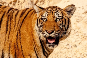Texan Charged for Keeping Tigers at Home