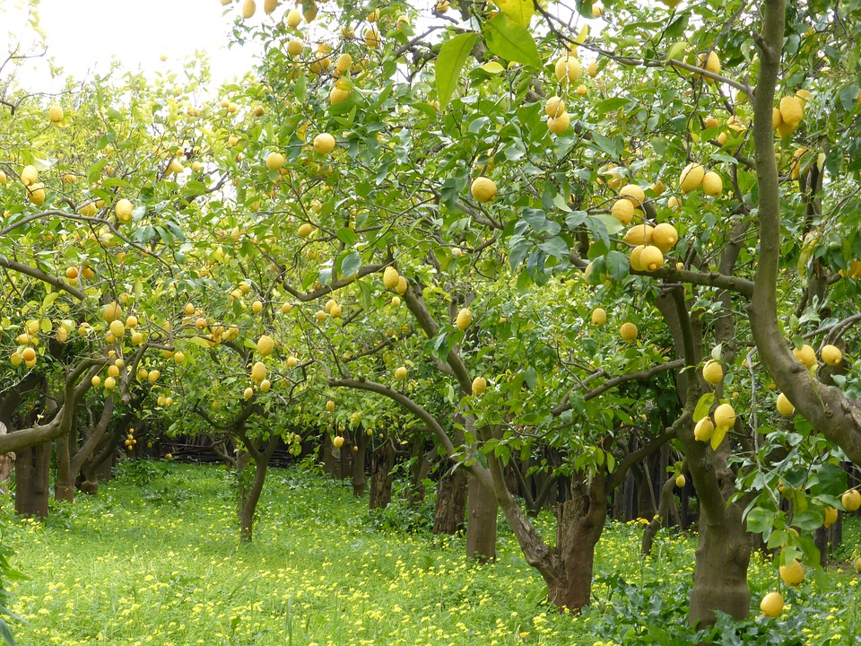 Lemon Law California >> California Growers Sue USA for Lifting Ban on Argentine Lemons
