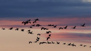 Migratory birds in formation