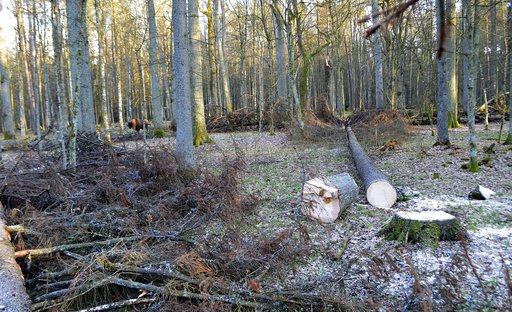 Polish logging in ancient forest breaches European Union law - court advisor