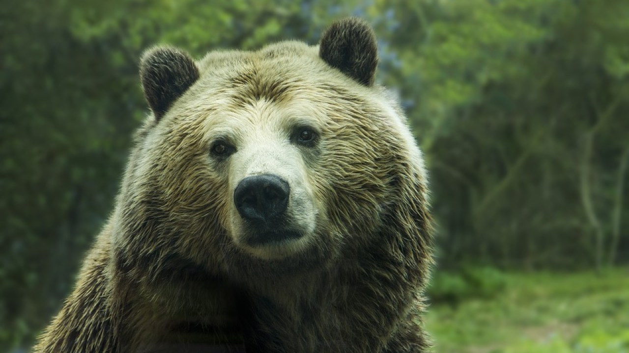 Indian Tribes Take The Lead In Fight For Grizzly Bears