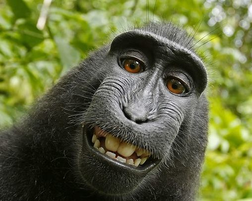 Federal Appeals Court rules that a Monkey can not copyright his own selfies