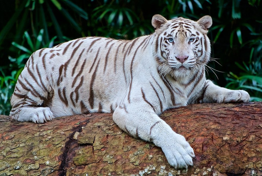 Animal Lover Wants Four White Tigers Moved to a Better Home