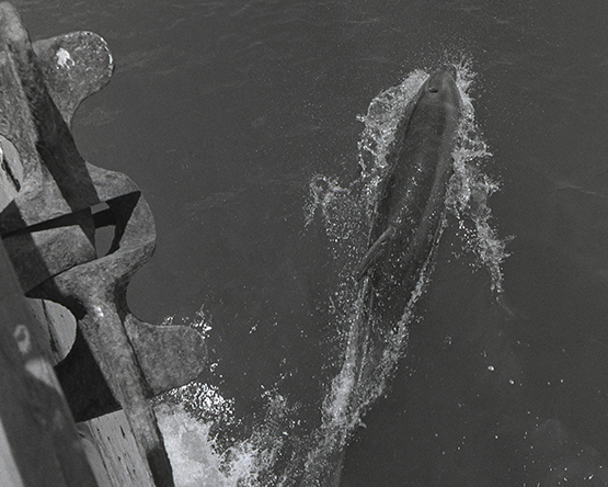 Dolphin off prow of ferry boat across the Sea of Cortez (Walt Girdner photo)