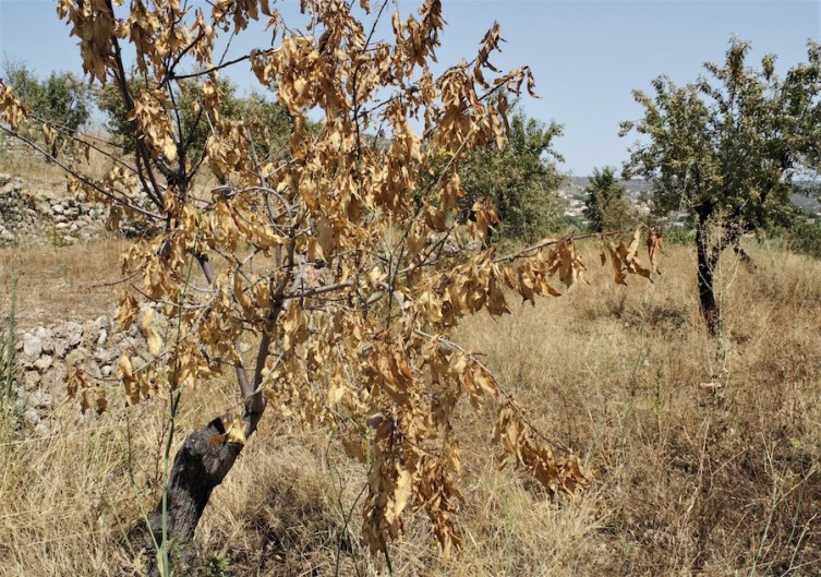 An almond tree with brown leaves may be dying from a lethal Central American bacterium called Xylella fastidiosa. The tree is in a field near Alcalalí, a town in the province of Alicante, Spain. The lethal Xylella fastidiosa bacterium is killing almond trees in this part of Spain. The bacterium is considered one of the most dangerous threats to Europe's crops. (Photo by CAIN BURDEAU/Courthouse News Service)