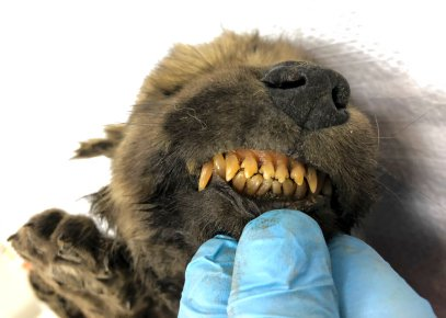 Russian scientists have presented a unique prehistoric canine, believed to be 18,000 years old and found in permafrost in the Russia's Far East, to the public on Monday. (Sergei Fyodorov, Yakutsk Mammoth Museum via AP)