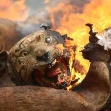 This image was published to Facebook on Jan. 5, 2020, purporting to credit the photo as one from the ongoing Australian wildfires shared by the University of Sydney. it actually shows a stuffed tiger after it was set ablaze by Indonesian authorities in 2012, originally published in 2012 by Shutterstock Editorial. (Image via CNS)