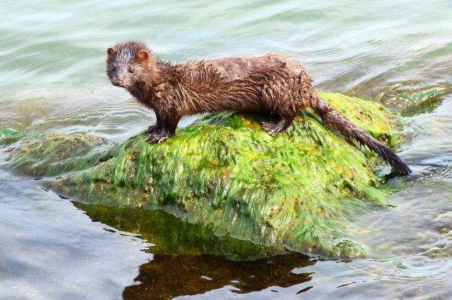 Dutch Mink Workers May Be First Known Humans Infected By Animals Who
