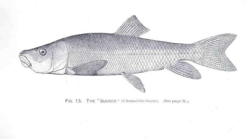 Illustration of the June sucker, a fish endemic to Utah