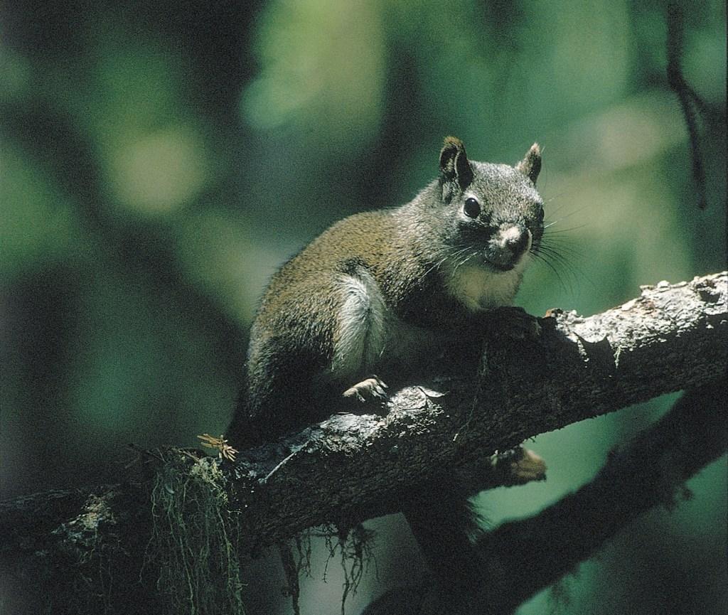 MtGrahamRedSquirrel.jpg?resize=1024%2C86